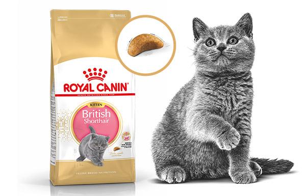 thức ăn cho mèo RC- British Shorthair Kitten
